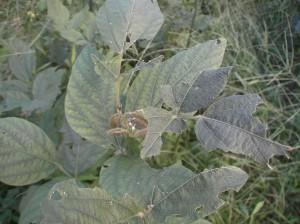 自然農在来種の枝豆