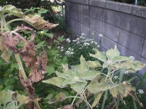 ニラの花とひまわり